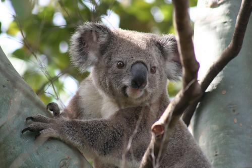Koala de Australia
