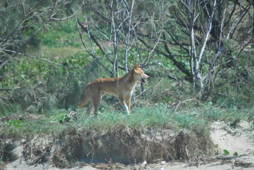 Dingo Isla Fraser