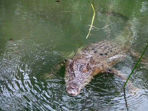 Visitar el Hartleys Crocodile Adventures