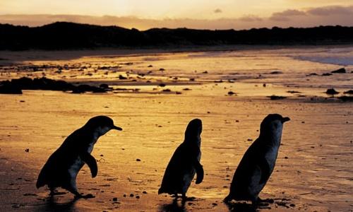 Pingüinos en Philip Island